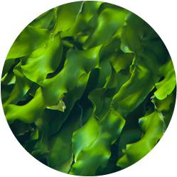 黄金海藻エキス
